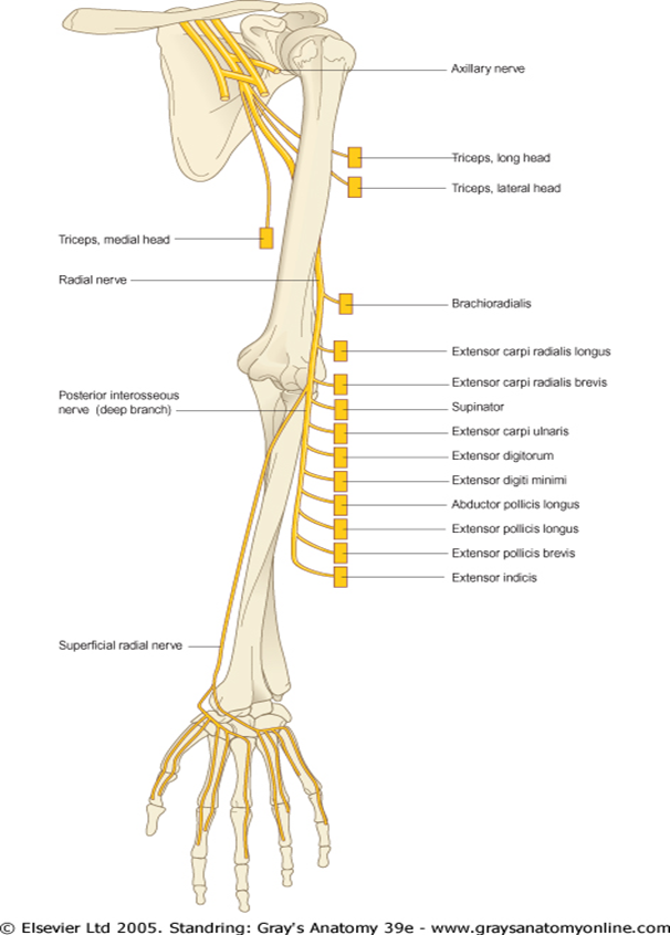 Radial nerve entrapment at the elbow; Radial Tunnel Syndrome and ...